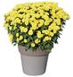 Chrysanthemum indicum  »Chrysantheme«-Thumbnail