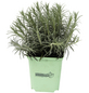 GREENBAR Currykraut 3er Set, Helichrysum Italicum, Blütenfarbe: gelb-Thumbnail