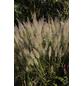 Diamant-Reitgras brachytricha Calamagrostis-Thumbnail