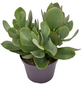 Dickblatt, Pfennigbaum Crassula arborescens-Thumbnail