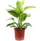 Dieffenbachie, Dieffenbachia amoena-Thumbnail