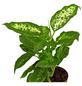 GARTENKRONE Dieffenbachie Dieffenbachia hybrid-Thumbnail