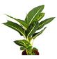 GARTENKRONE Dieffenbachie Dieffenbachia hybrid 50 cm-Thumbnail