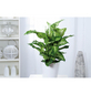 GARTENKRONE Dieffenbachie, Dieffenbachia maculata »in Sorten«, im Kunststoff-Kulturtopf-Thumbnail