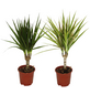 Drachenbaum 2er Set Dracaena marginata-Thumbnail