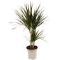 Drachenbaum 3er Set Dracaena marginata-Thumbnail