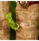 GARTENKRONE Drachenbaum Dracaena fragans »Massangeana«-Thumbnail