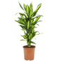 Drachenbaum Dracaena fragrans »Cintho«-Thumbnail
