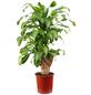 Drachenbaum Dracaena fragrans »Massangeana«-Thumbnail