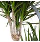 Drachenbaum Dracaena marginata-Thumbnail