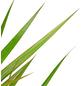GARTENKRONE Drachenbaum, Dracaena marginata, im Kunststoff-Kulturtopf-Thumbnail