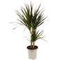 Drachenbaum Dracaena marginata »Magenta«-Thumbnail