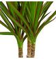 GARTENKRONE Drachenbaum, Dracaena Marginata, Topf-Ø: 11cm-Thumbnail
