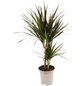 Drachenbaum, marginata Dracaena »Magenta«-Thumbnail