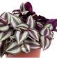 Dreimasterblume Tradescantia zebrina-Thumbnail