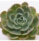 Echeverie Echeveria cv. »Raindrop«-Thumbnail