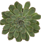 Echeverie Echeveria pulidonis-Thumbnail