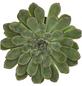 Echeverie pulidonis Echeveria-Thumbnail