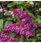 GARTENKRONE Edelflieder Syringa vulgaris »Andenken an Ludwig Späth«-Thumbnail