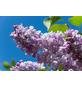 GARTENKRONE Edelflieder, Syringa vulgaris »Beauty of Moscow«, rosa/pink, winterhart-Thumbnail