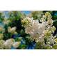 GARTENKRONE Edelflieder Syringa vulgaris »in Sorten«-Thumbnail