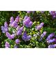 GARTENKRONE Edelflieder, Syringa vulgaris »in Sorten«, bunt, winterhart-Thumbnail