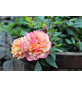 Edelrose  »Augusta Luise ®«, Rosa, Blüte: apricot-Thumbnail
