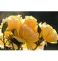 Edelrose »Candlelight®«, Rosa, Blüte: gelb-Thumbnail