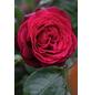 Edelrose »Gräfin Diana -R«, Rosa, Blüte: rot-Thumbnail