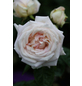Edelrose »Madame Anisette ®«, Rosa, Blüte: blassrosa-Thumbnail