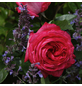 KORDES ROSEN Edelrose , Rosa »Cherry Lady®«, Blüte: rosarot, gefüllt-Thumbnail