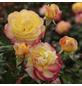 KORDES ROSEN Edelrose, Rosa »Flaming Star®«, Blüte: orange, gefüllt-Thumbnail