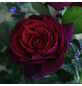 KORDES ROSEN Edelrose, Rosa »Gräfin Diana®«, Blüte: rot, gefüllt-Thumbnail