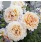 KORDES ROSEN Edelrose, Rosa »Grossherzogin Luise®«, Blüte: apricot, gefüllt-Thumbnail