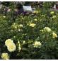 KORDES ROSEN Edelrose, Rosa »Limona®«, Blüte: hellgelb, gefüllt-Thumbnail