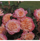 ROSEN TANTAU Edelrose, Rosa x hybrida »Augusta Luise«, Blüte: rosa, gefüllt-Thumbnail