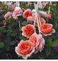 ROSEN TANTAU Edelrose, Rosa x hybrida »Chippendale«, Blüte: orange, gefüllt-Thumbnail