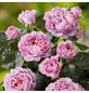 ROSEN TANTAU Edelrose, Rosa x hybrida »Eisvogel«, Blüte: violett, gefüllt-Thumbnail
