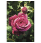 ROSEN TANTAU Edelrose, Rosa x hybrida »Goethe«, Blüte: pink, gefüllt-Thumbnail