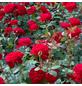 ROSEN TANTAU Edelrose, Rosa x hybrida »Marlene«, Blüte: rot, gefüllt-Thumbnail