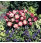 ROSEN TANTAU Edelrose, Rosa x hybride »Nostalgie«, Blüte: zweifarbig, gefüllt-Thumbnail