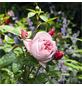 ROSEN TANTAU Edelrose, Rosa x hybride »Schöne Maid«, Blüte: rosa, gefüllt-Thumbnail