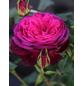 Edelrose »Wolfgang von Goethe ®«, Rosa, Blüte: pink-Thumbnail