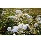 GARTENKRONE Edelrosen »In Sorten«, Rosa, Blüte: bunt-Thumbnail