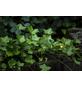 GARTENKRONE Efeu, Hedera helix, Blüten:-Thumbnail