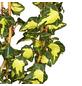 GARTENKRONE Efeu, Hedera helix »Goldheart«, winterhart-Thumbnail