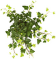 GARTENKRONE Efeu Hedera helix »Green Wonder«-Thumbnail