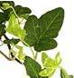 GARTENKRONE Efeu, Hedera helix »Green Wonder«, winterhart-Thumbnail
