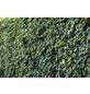 GARTENKRONE Efeu, Hedera helix »Hibernica«, creme, winterhart-Thumbnail