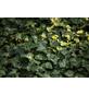 GARTENKRONE Efeu, Hedera helix »Hibernica«, winterhart-Thumbnail